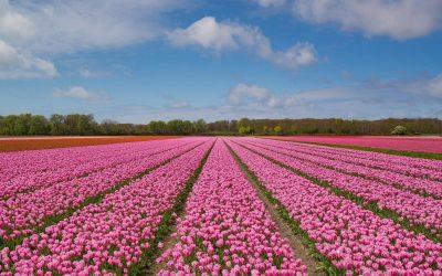 Holandia jako lider w produkcji kwiatów – zdobądź zatrudnienie za granicą!